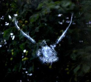 Detta märket av en fågel som krockat med en fönsterruta på Växhuset.Den måste ha blivit riktigt förvånad !