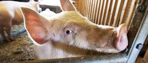 Länsstyrelsens veterinärer har bara hunnit kontrollera en grisgård i år. Grisen på bilden har inget med texten att göra.