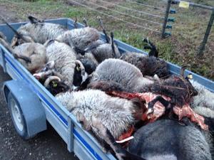 Tolv får dödades efter en vargattack.