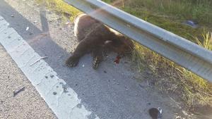 Björnen blev påkörd när den skulle korsa E4 och avled på platsen.