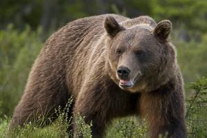 Hans Andersson har fångat en björn med kameran.