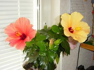 En mirakel blomma? Har köpt blomman från Willys under våren och nu lyckades jag få båda blommorna på samma bild, det vill säga en hibiskus med två olika färgade blommor-från början gul.