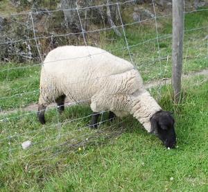 Gräset är grönare på andra sidan tyckte detta får. Bilden är från när vi var på Kungsbyn.