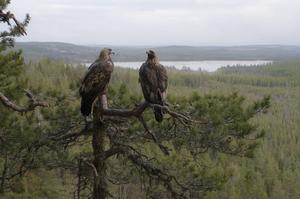 Den bild Göran Ekström just nu känner sig mest nöjd med. För att fota kungsörnarna i trädet med landskapet i bakgrunden hade han följt paret en längre tid och sett ut den perfekta tallen. Foto: Göran Ekström