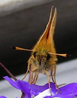 Liten, liten lurvig typ med antenner, inte större än han får rum i en lobeliablomma.