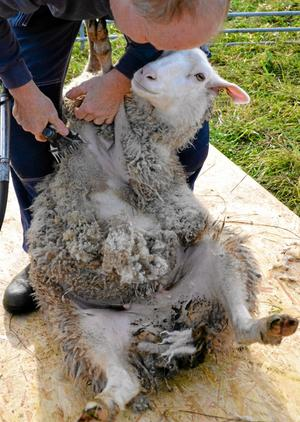 Varsamt. Bestämt men med varsamhet håller Per Eriksson fåren när han klipper av ullen.