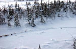 Här ses en järv jaga renar.