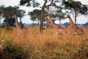 Närheten till djuren som på riktigt lever gott i det fria är den stora behållningen av safarin, även det känns lite beklämmande ibland att vi hjälper till att finansiera deras fortlevnad samtidigt som vi kör runt i deras habitat och spyr ut avgaser med en fyrhjulsdriven jeep.   Foto: Sofia Hallonsten