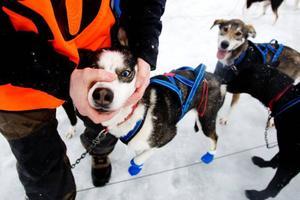 En del hundar får ta piller för att undvika magproblem.