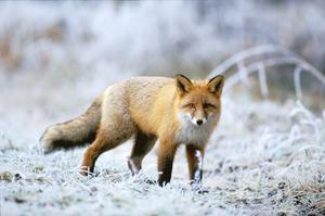 En frisk räv får en vinterpäls som är både vacker och värmande. Vintern är sällan några problemför denna överlevnadskonstnär, som den ofta kallas.