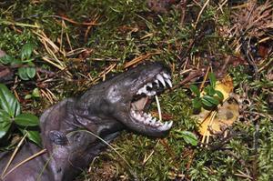 Uttern är både ett vattendjur och ett rovdjur som fångar och äter fisk.. Bettet och tänderna är kraftiga.