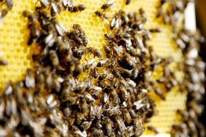 I vaxkakans celler föds larver upp och i andra lagras honung och pollen.