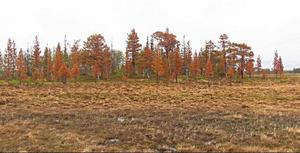 Många har observerat att fjällskogen lyser alldeles röd i vissa områden. Orsaken är att träden har drabbats av frosttorka, ett ovanligt tillstånd som kan inträffa efter extremt kalla vintrar.