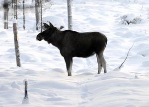 En frusen älg filosoferar i kylan och läser varningsskylten för korsande väg vid infarten till Idre. Foto:Nisse Schmidt