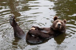 Besökte Kolmården en av de regniga dagarna denna sommar. Många djur tog skydd för regnet men brunbjörnen trivdes och tog ett bad, bjöd  på underhållning och poserade villigt för fotograferna!
