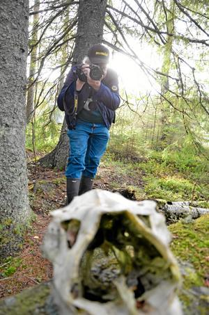 Älgskalle. Här har fotografen Edolf Andersson hittat ett motiv, ett gammalt älgkranium.