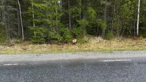 Den unga björnen har setts vid Loviken den senaste veckan.