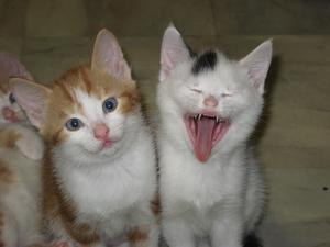 Jag skulle fota två söta kattungar som satt bredvid varandra. Den ena gäspade några ggr, så jag passade på då.  Det ser verkligen ut som om hon har väldigt roligt..