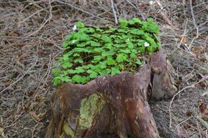En naturlig plantering i Tujaskogen på Öland.