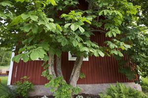 Av de fem träden är det två som fortfarande lever. Det ena är över 14 meter högt.