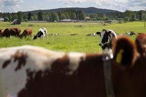 Jan och Lisa Thorén slutar med mjölkkor efter 30 år.