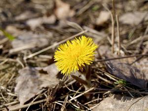 När man får syn på en tusslago, då vet man att våren är här!
