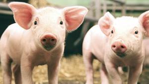 På vilket sätt är det extremism att ta avstånd från dödande av djur och att förespråka en växtbaserad kost, skriver debattören. Foto: Arkiv