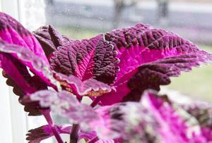 Moderplantan till den fantastiskt rosa palettbladet som Ina har i köksfönstret var hennes första växt.