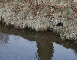 En stor svart råtta höll till vid Puttlabäcken på torsdagen.
