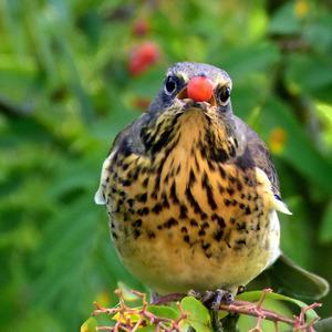 Björktrasten är en vanlig fågel hos oss både vinter och sommar. Ta en kikare och titta och i närbild ser du hur grann fågeln är.