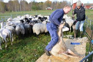 Rudy Hobbenschot som äger fåren är med och ser till så allt fungerar när Per Eriksson klipper djuren.