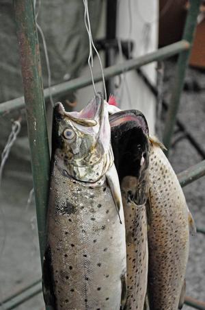 För att fisken som fångas ska räknas som godkänd måste de vara minst 50 cm lång.  De som inte ville ha sin fisk själv kunde skänka fisken till arrangörerna som sålde den vidare.