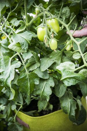 Tomater på gång!
