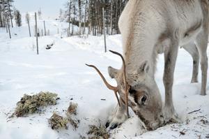Det samiska språket är uppbyggt efter samers leverne och renskötsel. Det finns nästan 100 ord för snö och dess konsistens och egenskaper.