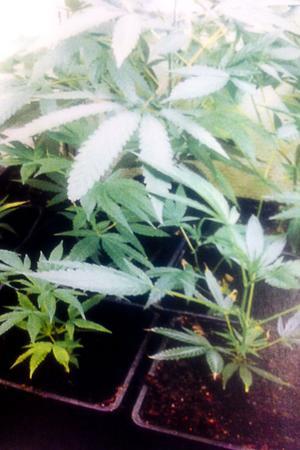 Närmare 60 cannabisplantor fann polisen vid tillslaget mot torpet i Trönöskogarna.