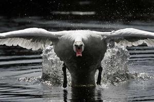 Årets naturbild. Foto: Tord Olsson, Östgöta Correspondenten. Juryns motivering: En actionbild med skärpan på rätta stället. Fågelns kraftfulla gestalt bär upp bilden i denna vinkel.