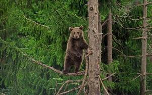 Att man ser stängsel på fotografierna tillhör verkligen ovanligheten när man bläddrar igenom björnparkens jubileumsbok. -- Det skulle vara väldigt svårt att göra en sådan här bok i en annan park, men Grönklitt är ingen vanlig park, säger fotografen och författaren Anders Björklund som här delar med sig av en klättrande brunbjrönunge. FOTO: ANDERS BJÖRKLUND