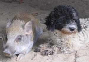 Tydligen bästisar, först lite bus sedan lade dom sej intill varandra och gosade. Riktigt söta var dom, den lilla grisen och hunden.