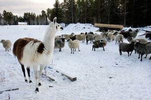Att vakta fåren är laman Rigolettos uppgift och han är också den tydlige flockledaren.