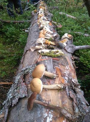 Härnösands svampklubb hittade ett 50-tal ätbara arter vid sin senaste utflykt i skogarna runt Härnösand.