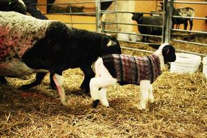 I en hage inne i fårstallet går vissa av tackorna tillsammans med lammen, medan de får som inte hunnit föda ännu får gå för sig.