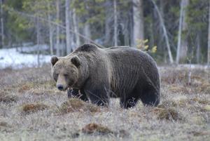 Vild björn nära ryska gränsen i nordöstra Finland.
