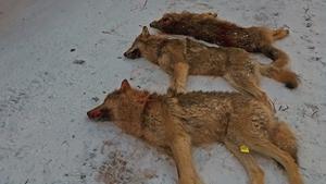Två vargtikar och en hane sköts under lördagens licensjakt  i trakterna runt Lövsjön.