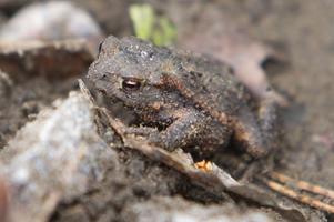 Grävarbetena har gjort att grodorna har försvunnit, enligt länsstyrelsen. Anders Högberg hävdar motsatsen – grodorna finns kvar.