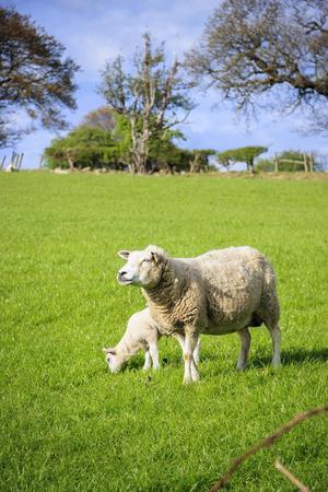 Yorkshires gröna fält och kullar genomkorsas av stengärsgårdar och är under sommarmånaderna tummelplats för hundratusentals får.   Foto: Reine Hefvelin