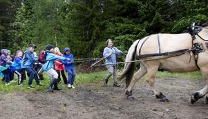 Dragkamp mellan en skolklass från Enånger och hästen Hampus.