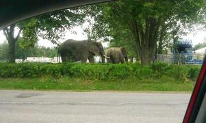 Lösa, men inte på rymmen. Trots att trafiken på Vasagatan stoppades upp så säger ansvariga på Cirkus Scott att elefanterna inte hade rymt utan var på promenad med en av sina skötare.Foto: läsarbild