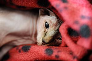 Eftersom katterna saknar päls är de känsliga mot kyla. Skönt att kunna krypa ner under en filt.