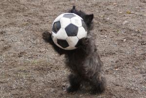Min mammas hund är tokig i fotbollar. Här lyckades det verkligen bli en ögonblicksbild.