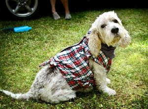 Westernvovve. Hunden Quisen var också utstyrd i rutig skjorta och nusnäsduk.